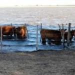 vacas anegadas