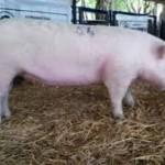porcino a corral